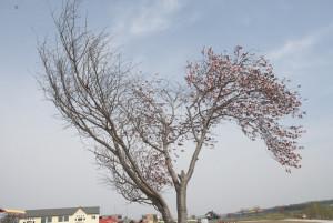 桜満開。でも・・・