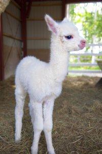 アルパカの赤ちゃん誕生❤