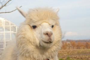 arpaca spring 03
