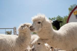 arpaca spring 04