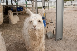 arpaca spring 05