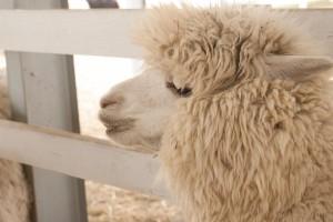 arpaca spring 06