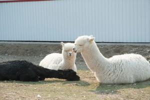 arpaca spring 09