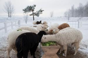 arpaca winter 09